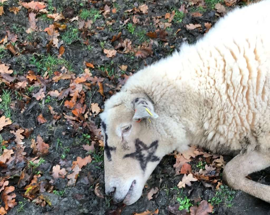 The slaughtered ewe was discovered by dog walker Judy Rudd (Photo: Solent News)