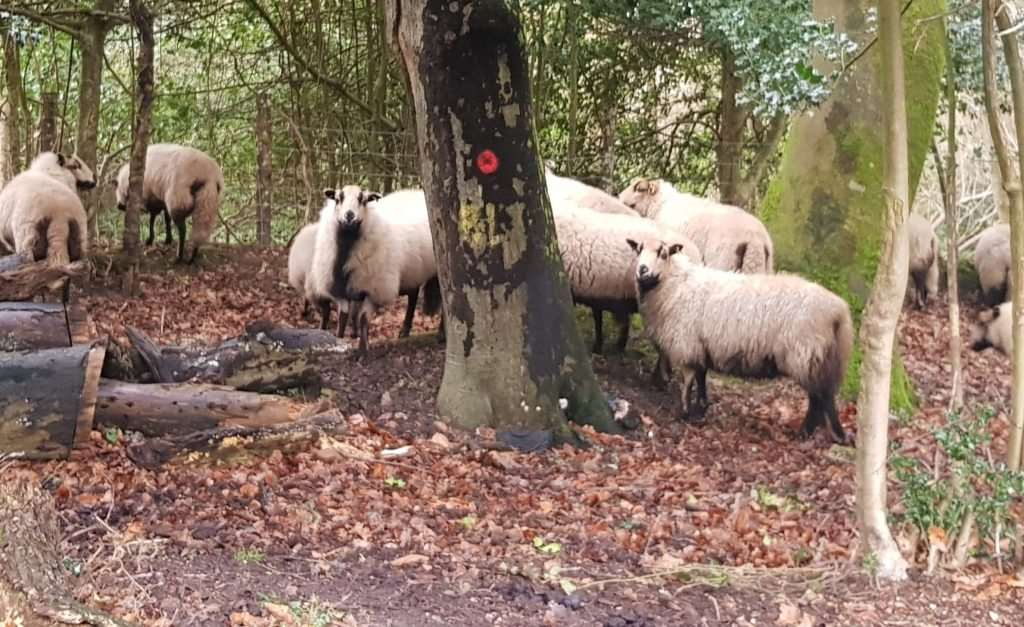Sheep roaming in Kewlake Lane, Cadnam, near the scene of the latest killings (Photo: stock image)