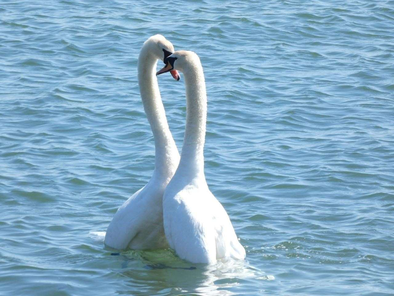 7th May 2021: Emma Denley spotted these amorous swans at Mudeford