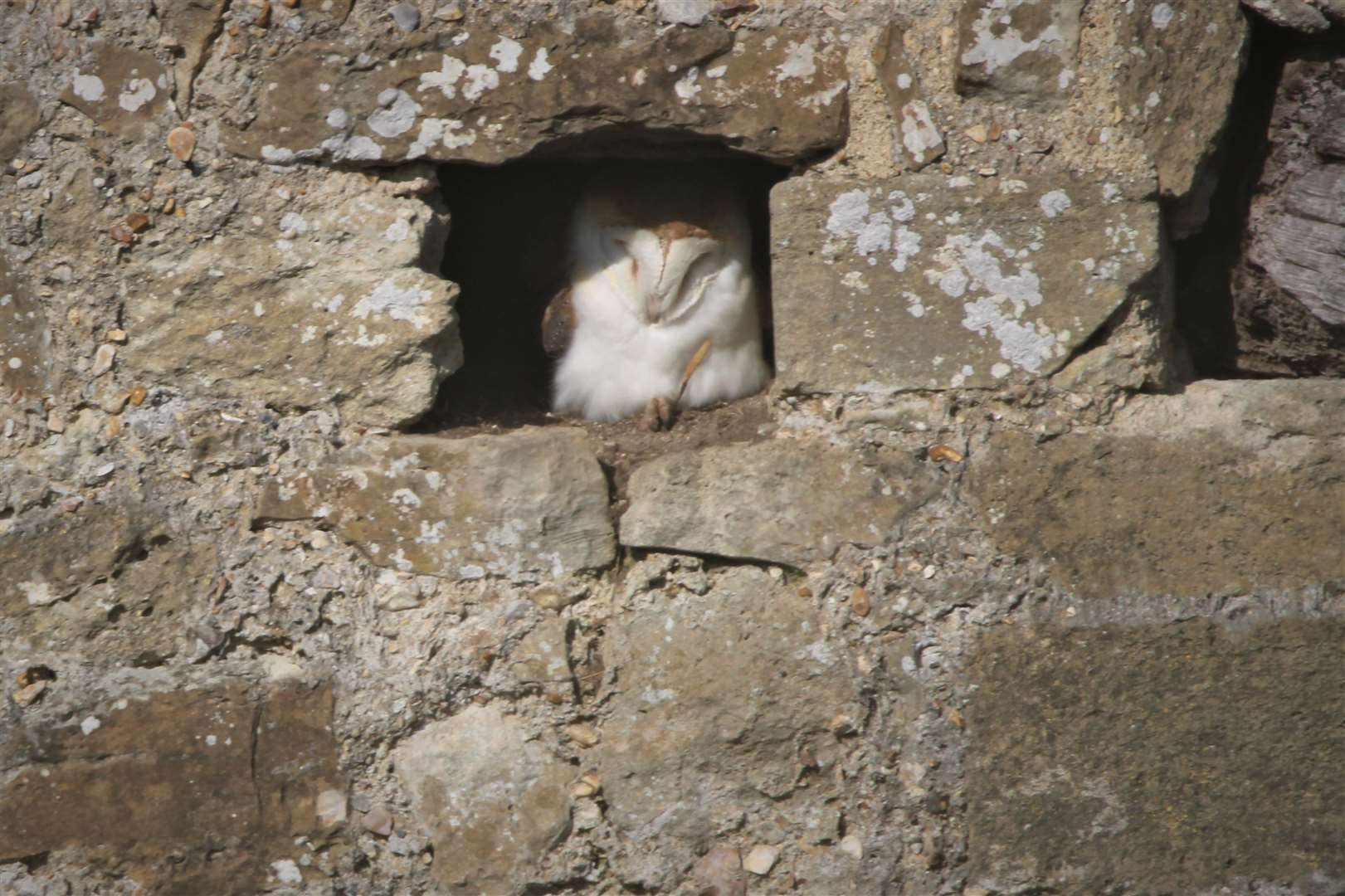 19th February: Viv Stewart spotted this barn owl sunbathing in an old wall in Beaulieu