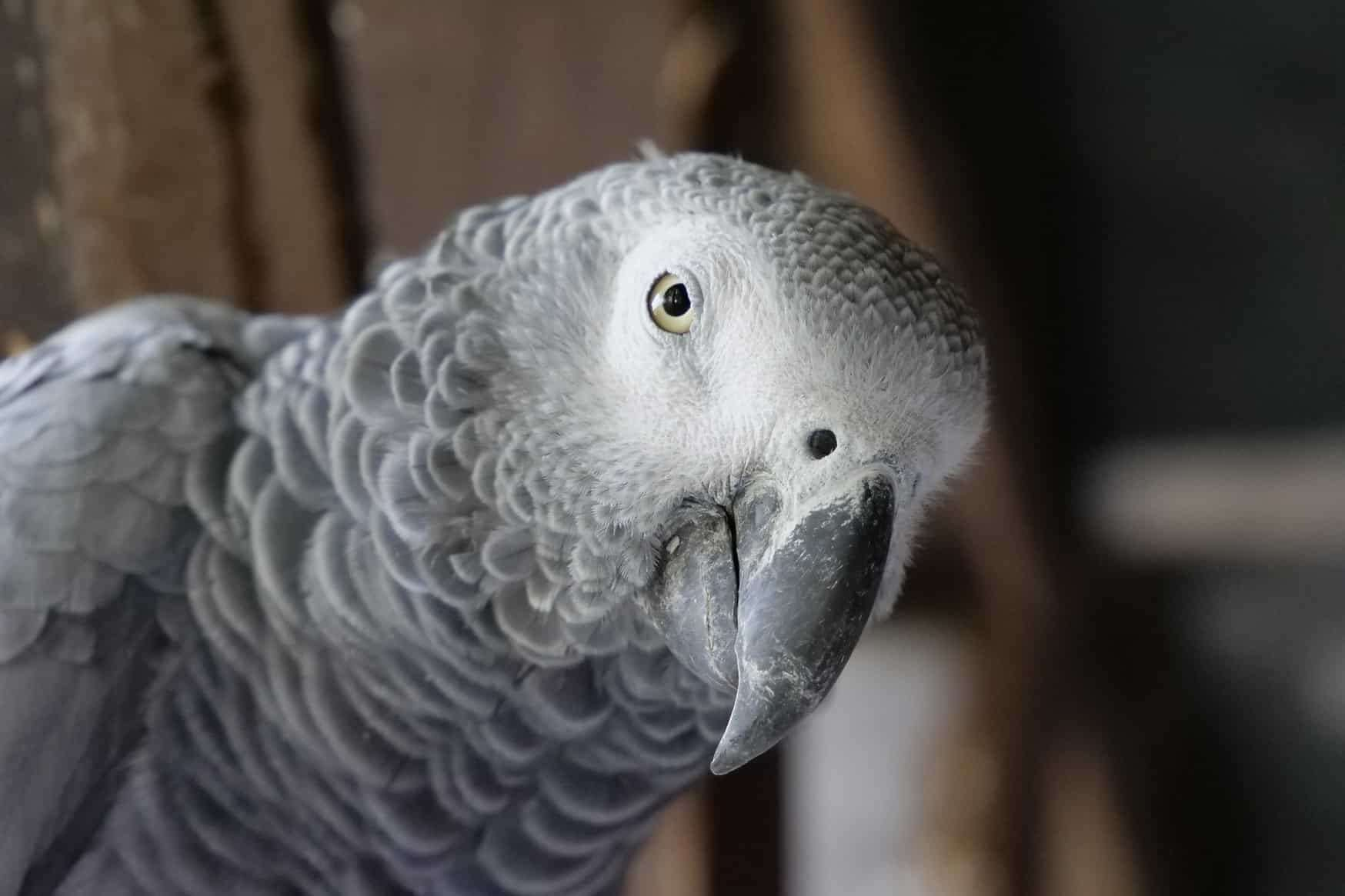 An African grey parrot was among those taken (stock image)