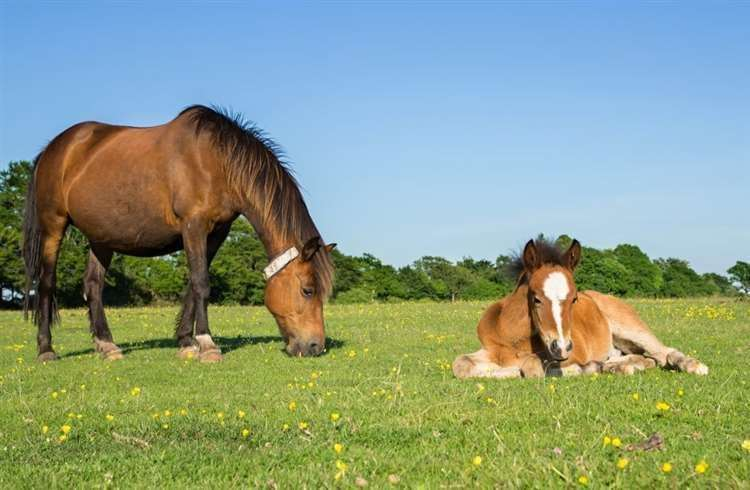 Pony with foal in New Forest (46078796)