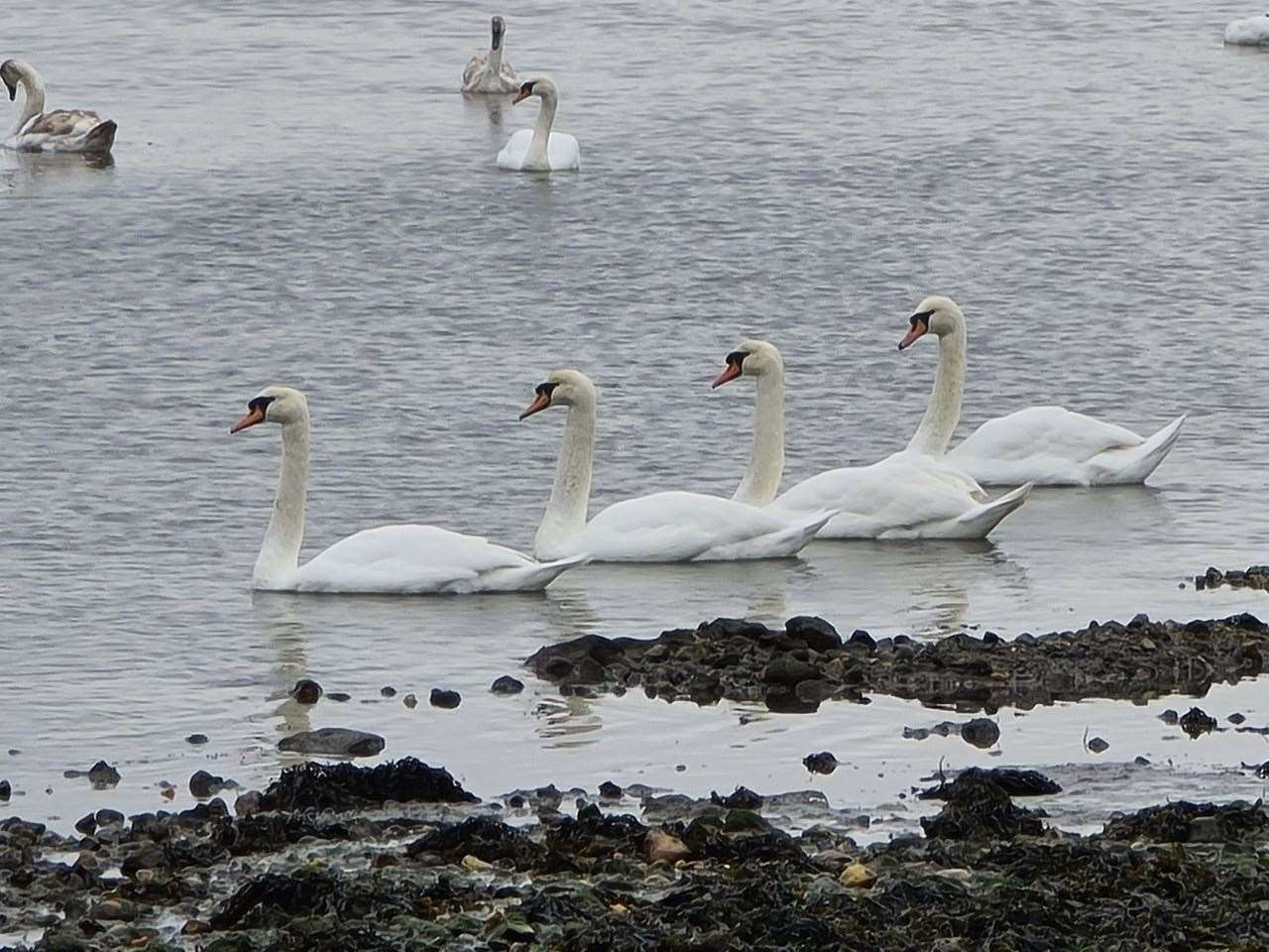 12th March: Bill Bicknell captured these synchronised swans at Sturt pond in Milford