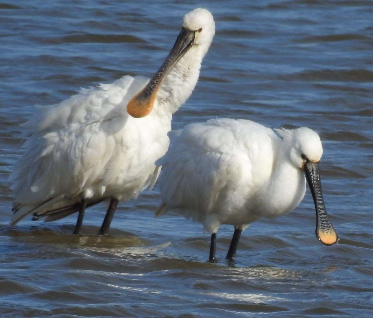 19th March 2021: Peter Simpson spotted these spoonbills at Normandy Lagoon near Salterns Sailing Club, Lymington