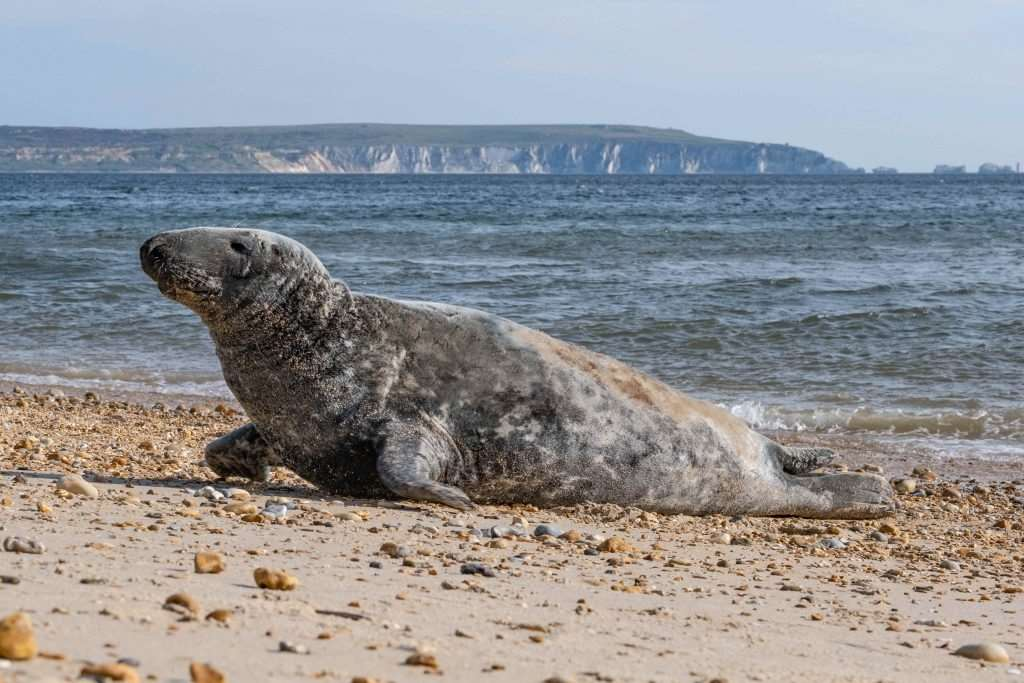 A seal on the beach at Milford (picture: Chris Mabey)